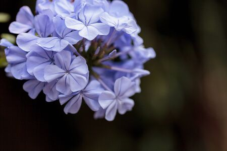 petrea: Blue flowers of Petrea volubilis, also called the sandpaper vine, which is an evergreen flowering vine native to Mexico and Central America.