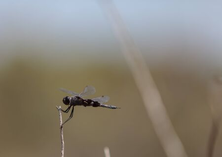 lacerate: Black saddlebags dragonfly Tramea lacerate is a skimmer dragonfly found near stagnant water and will eat mosquitos