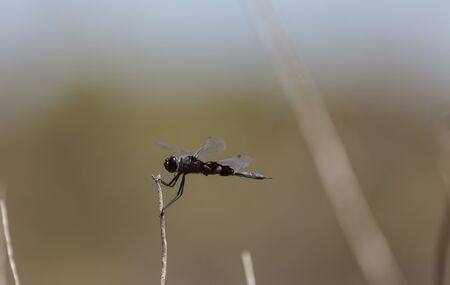 mosquitos: Black saddlebags dragonfly Tramea lacerate is a skimmer dragonfly found near stagnant water and will eat mosquitos.
