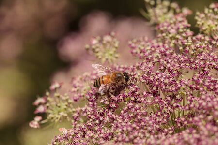 apis: Honeybee, Apis mellifera, gathers pollen on a flower in spring in Southern California, United States.