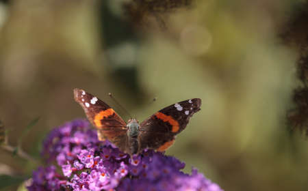 admiral: Brown and red admiral butterfly Vanessa atalanta on a flower in summer in Southern California