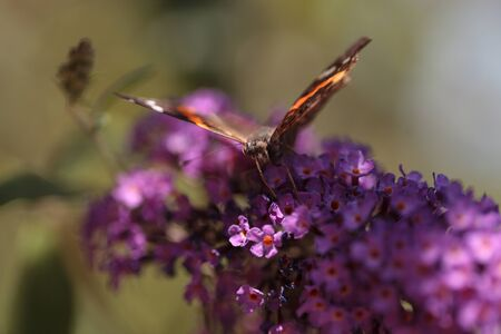 nectaring: Brown and red admiral butterfly Vanessa atalanta on a flower in summer in Southern California