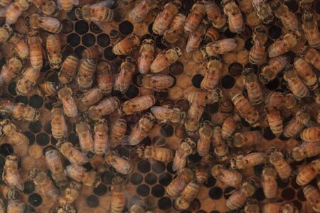 mellifera: Honeybees, Apis mellifera, kept by a beekeeper for honey. The queen is marked by a white dot so that the keeper may track her.