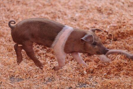 sow: Blue Butt piglets still nursing from their mother sow in summer.
