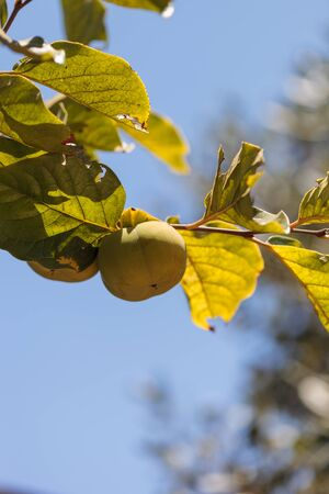 persimmon tree: Fuyu persimmon grows on a tree on a small organic farm in summer