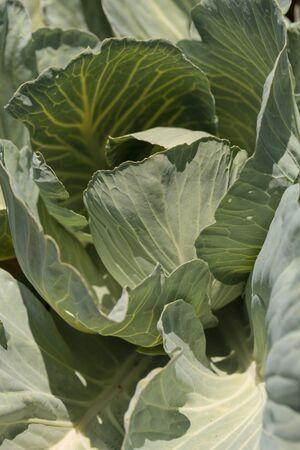 botanical farms: Fresh cabbage grows on a small organic farm in a Southern California garden.