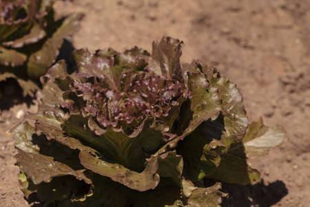 freckle: Freckle lettuce grows on a small organic farm in a Southern California garden.