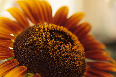 helianthus: Sunflower, Helianthus annuus, blooms in spring in a garden