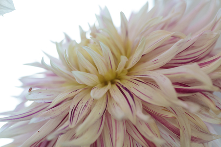 fascination: Pink and white Dahlia flower is found in Mexico and is the national flower.