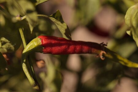 Hot cayenne peppers growing in an organic garden in spring in Southern California.