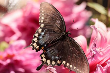 Spicebush swallowtail butterfly, Papilio troilus, is found in North America Stock Photo