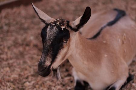 hircus: Alpine Goat, Capra aegagrus hircus, in a barn on a small farm in summer.