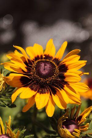 susan: Gloriosa Daisy black-eyed susan flower blooms next to a purple salvia flowers in a botanical garden