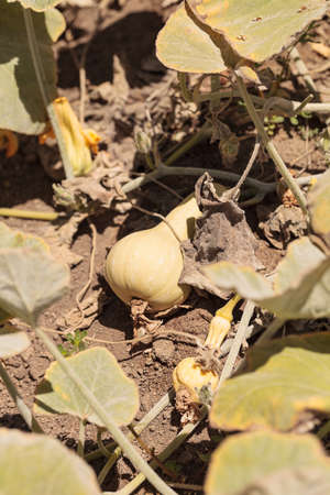 botanical farms: Butternut squash grows on a small organic farm in a Southern California garden. Stock Photo