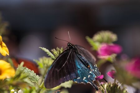 papilio: Spicebush swallowtail butterfly, Papilio troilus, is found in North America Stock Photo