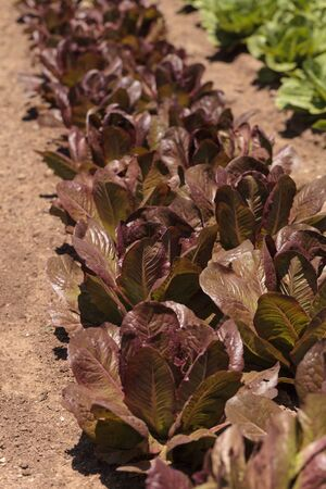 botanical farms: Romaine lettuce grows on a small organic farm in a Southern California garden. Stock Photo
