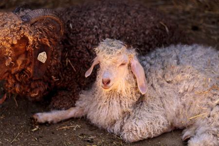 hircus: Angora goat, Capra aegagrus hircus, in a barn on a small farm in summer.