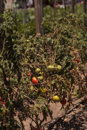 better: Better boy Tomatoes growing in an organic garden in spring in Southern California. Stock Photo
