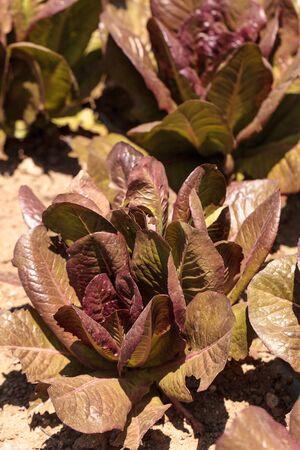 romaine lettuce: Romaine lettuce grows on a small organic farm in a Southern California garden. Stock Photo