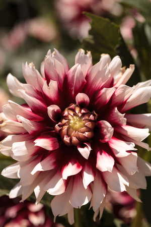 Pink and white Dahlia flower is found in Mexico and is the national flower.