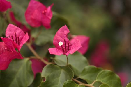 Pink flowers on a bougainvillea bush vine grows and is prolific pink flowers on a bougainvillea bush vine grows and is prolific this thorny ornamental vine mightylinksfo