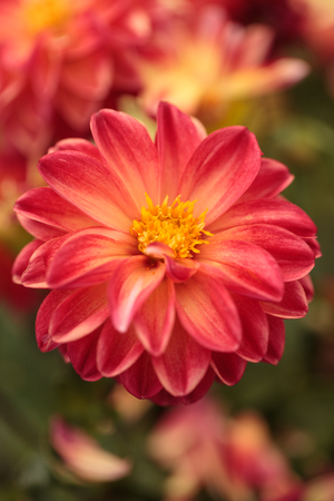 fascination: Pink Dahlia flower is found in Mexico and is the national flower.