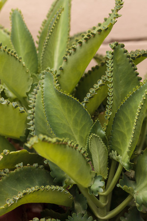 scientifically: Mother of millions, scientifically called Bryophyllum daigremontianum, is also called mother-of-thousands, alligator plant or Mexican hat plant is a succulent plant native to Madagascar. Stock Photo