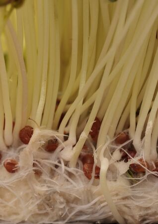 Green radish sprouts are healthy and can be used in a salad or on a sandwich.