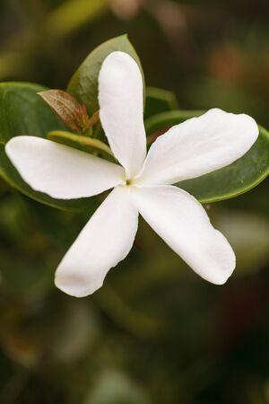 Witte jasmijnbloemen op een hegstruik in een botanische tuin in het voorjaar.