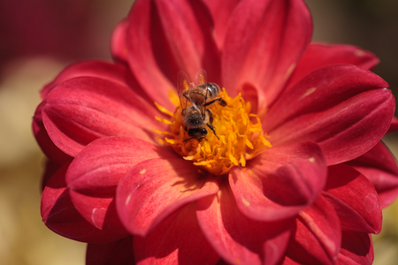 apis: Red Dahlia flower called Fascination with a honeybee, Apis mellifera, gathering pollen in summer.