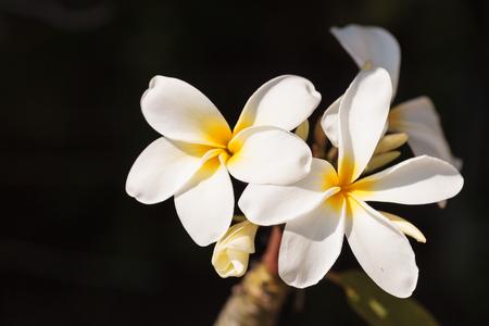 ハワイアン プルメリア ハイブリッド, プルメリアは、ハワイで夏に咲く