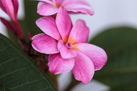 Pink Hawaiian plumeria hybrid, frangipani blooms in summer in Hawaii
