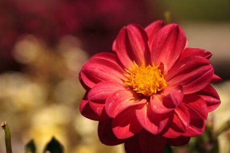 Red Dahlia flower called Fascination in summer.