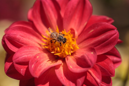 mellifera: Red Dahlia flower called Fascination with a honeybee, Apis mellifera, gathering pollen in summer.