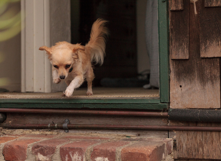 long hair chihuahua: Tan cream colored Chihuahua puppy dog jumps off the step to leave the house.