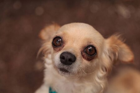 long hair chihuahua: Tan cream colored Chihuahua puppy dog looks nervous