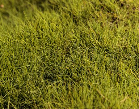 chartreuse: Textured bright green moss background in spring