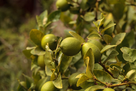 florida citrus: Lime fruit grows on the branch a lime tree in an orchard in summer Stock Photo