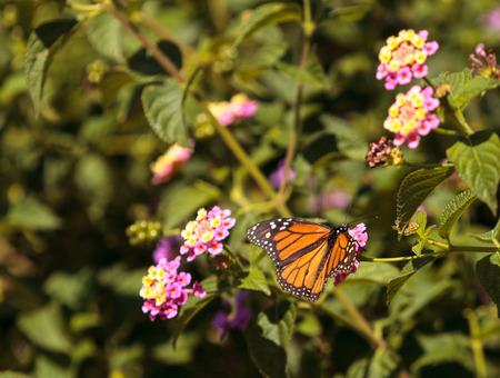 nectaring: Monarch butterfly, Danaus plexippus, on a butterfly bush in spring in Laguna Beach, Southern California