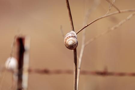 Multiple milk snail Otala lactea specimens high on a stick in a marsh field in Southern California.