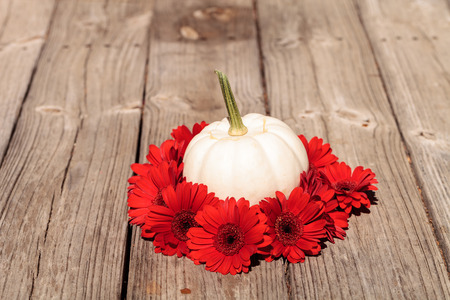 gerbera daisies: Red gerbera daisies ring a carved white Casper pumpkin on a rustic wood table at the holidays. Stock Photo