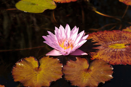 stellate: Blue star water lily, Nymphaea nochali, floats in a pond with its lily pads in Southern California
