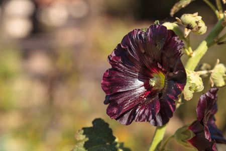 malvaceae: Dark red flower of common hollyhock Alcea rosea blooms in a botanical garden in Southern California, United States