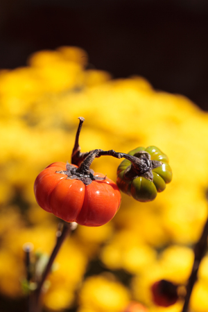 scientifically: Pumpkin tree scientifically known as Solanum integrifolium is a plant that looks as if it is growing miniature orange pumpkins. Stock Photo