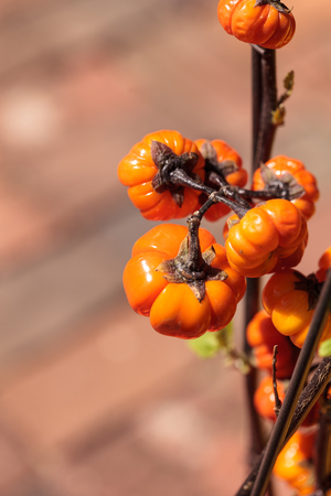 Pumpkin tree scientifically known as Solanum integrifolium is a plant that looks as if it is growing miniature orange pumpkins. Stock Photo