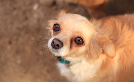 Small long haired Chihuahua mixed breed dog with big eyes begs for food