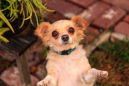 begs: Small long haired Chihuahua mixed breed dog with big eyes begs for food