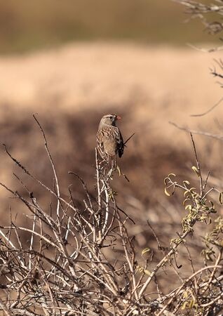 wildlife preserve: White crowned sparrow, Zonotrichia leucophrys, perches among the brush at the wildlife preserve of Bolsa Chica in Huntington Beach, California, United States