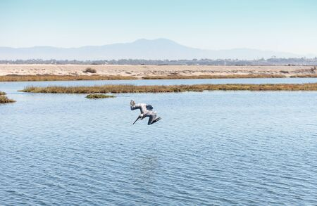 californian: Brown pelican, Pelecanus occidentalis, in a marsh in Huntington Beach, California, United States Stock Photo