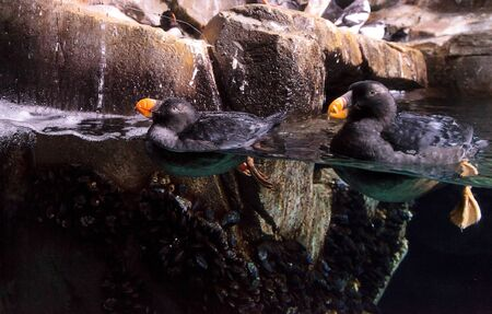 tufted puffin: Tufted puffin called Fratercula cirrhata swims and hunts for food in an aquarium